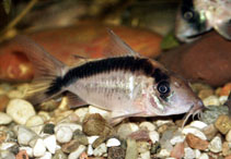 Image of Corydoras narcissus