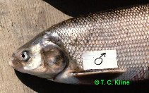 Image of Coregonus nasus (Broad whitefish)
