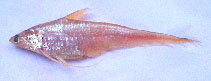Image of Coilia neglecta (Neglected grenadier anchovy)