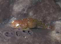 Image of Cochleoceps orientalis (Eastern cleaner-clingfish)