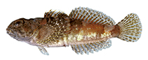 Image of Cottus paulus (Pygmy sculpin)