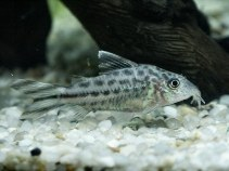 Image of Corydoras robineae (Bannertail catfish)