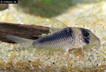 Image of Corydoras serratus