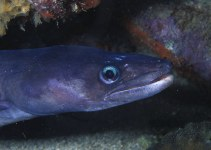 Image of Conger triporiceps (Manytooth conger)