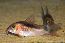 Image of Corydoras zygatus (Black band catfish)