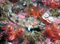 Image of Cryptotrema corallinum (Deep-water blenny)