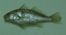 Image of Ctenosciaena gracilicirrhus (Barbel drum)