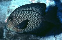 Image of Ctenochaetus hawaiiensis (Chevron tang)