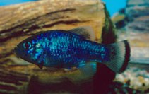 Image of Cyprinodon alvarezi (Potosi pupfish)