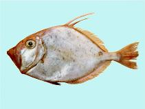 Image of Cyttus australis (Silver dory)