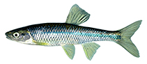 Image of Cyprinella caerulea (Blue shiner)