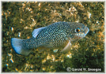 Image of Cyprinodon elegans (Comanche Springs pupfish)