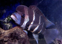 Image of Cyphotilapia frontosa (Humphead cichlid)