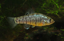 Image of Cyprinodon hubbsi (Lake Eustis minnow)