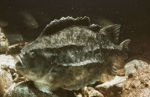Image of Cyclopterus lumpus (Lumpfish)