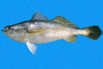Image of Cynoscion praedatorius (Boccone weakfish)
