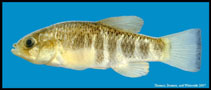 Image of Cyprinodon rubrofluviatilis (Red River pupfish)