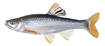 Image of Cyprinella trichroistia (Tricolor shiner)