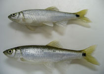 Image of Cyprinella venusta (Blacktail shiner)