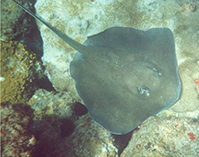 Image of Dasyatis centroura (Roughtail stingray)