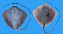 Image of Hypanus longus (Longtail stingray)