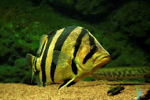 Image of Datnioides pulcher (Siamese tiger perch)