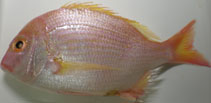 Image of Dentex abei (Yellowfin sea bream)
