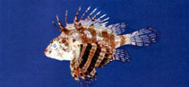 Image of Dendrochirus bellus (Butterfly scorpionfish)