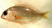 Image of Dentex macrophthalmus (Large-eye dentex)