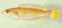 Image of Decodon pacificus (Ten-tooth wrasse)