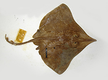 Image of Dipturus innominatus (New Zealand smooth skate)
