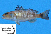 Image of Diplectrum labarum (Highfin sand perch)