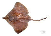 Image of Dipturus leptocauda (Thintail skate)