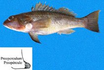 Image of Diplectrum maximum (Torpedo sand perch)