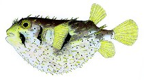 Image of Dicotylichthys punctulatus (Three-barred porcupinefish)