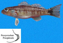 Image of Diplectrum rostrum (Bridled sand perch)