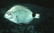 Image of Diplodus capensis (Cape white seabream)