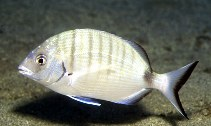 Image of Diplodus sargus (White seabream)