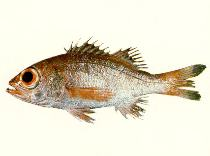 Image of Doederleinia berycoides (Blackthroat seaperch)