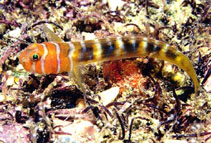 Image of Tigrigobius nesiotes (Brokenhband cleaner goby)