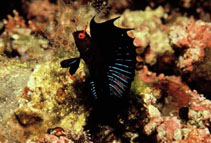 Image of Emblemaria hypacanthus (Gulf signal blenny)