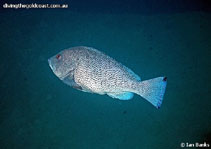Image of Epinephelus cyanopodus (Speckled blue grouper)
