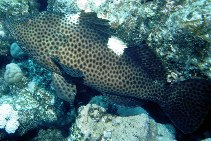 Image of Epinephelus maculatus (Highfin grouper)