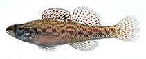 Image of Etheostoma edwini (Brown darter)