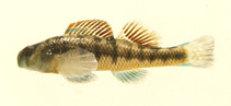 Image of Etheostoma rafinesquei (Kentucky darter)