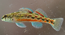 Image of Etheostoma ramseyi (Alabama darter)