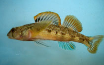 Image of Etheostoma thalassinum (Seagreen darter)