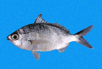 Image of Eucinostomus entomelas (Dark-spot mojarra)
