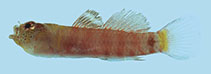 Image of Eviota occasa (Sunset dwarfgoby)