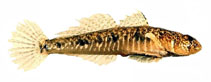 Image of Favonigobius lateralis (Southern longfin goby)